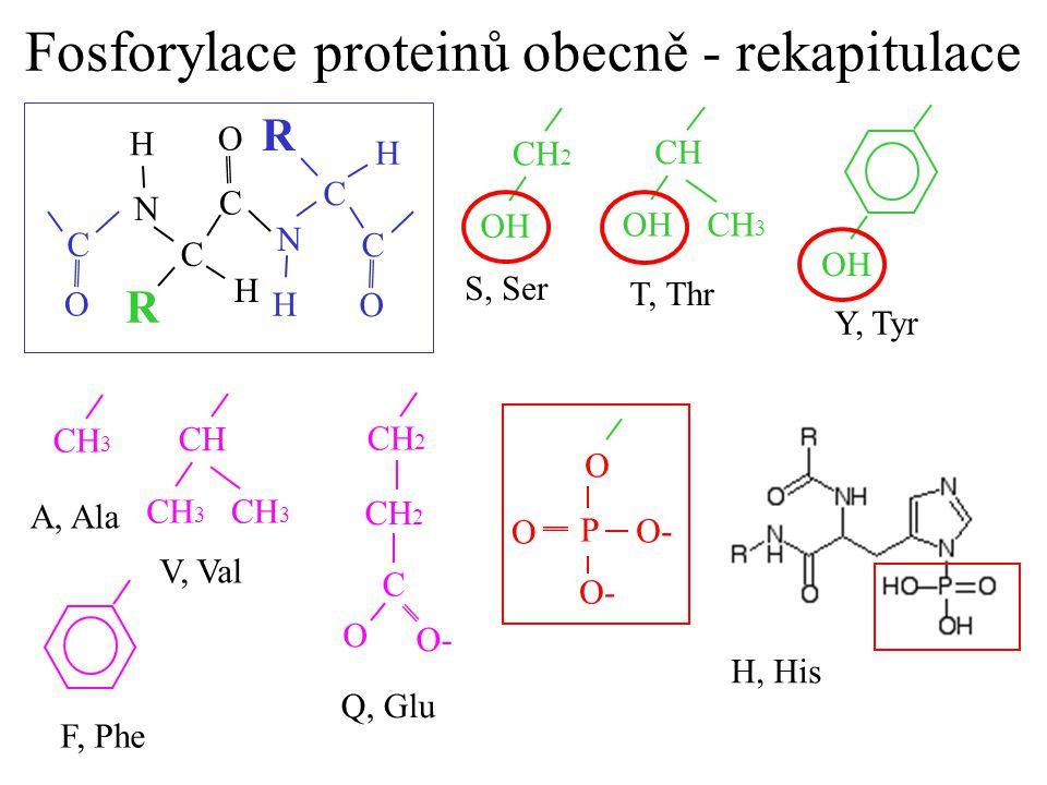 Fosforylace proteinů obecně - rekapitulace N C O H C H R N C O H C H R O C CH 2 CH 3 OH CH OH S, Ser T, Thr Y, Tyr O P O- O CH 3 CH CH 3 A, Ala V, Val
