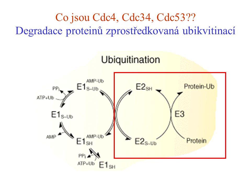 Co jsou Cdc4, Cdc34, Cdc53 Degradace proteinů zprostředkovaná ubikvitinací
