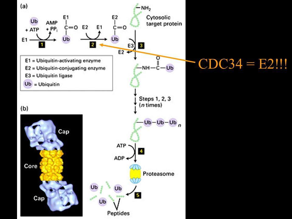 CDC34 = E2!!!