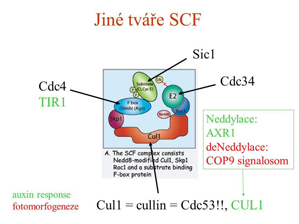 Jiné tváře SCF Cul1 = cullin = Cdc53!!, CUL1 Sic1 Cdc34 Cdc4 TIR1 auxin response fotomorfogeneze Neddylace: AXR1 deNeddylace: COP9 signalosom