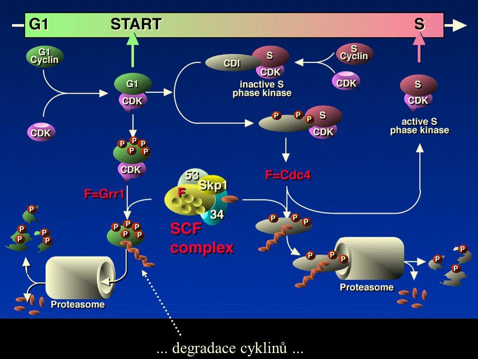 ... degradace cyklinů...