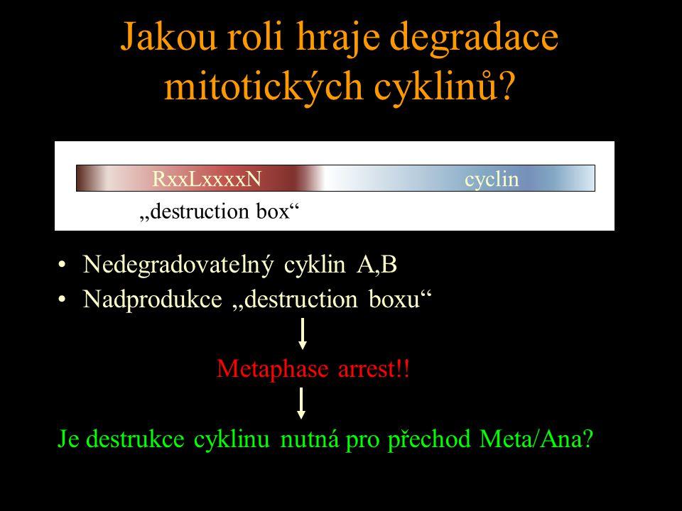 Jakou roli hraje degradace mitotických cyklinů.