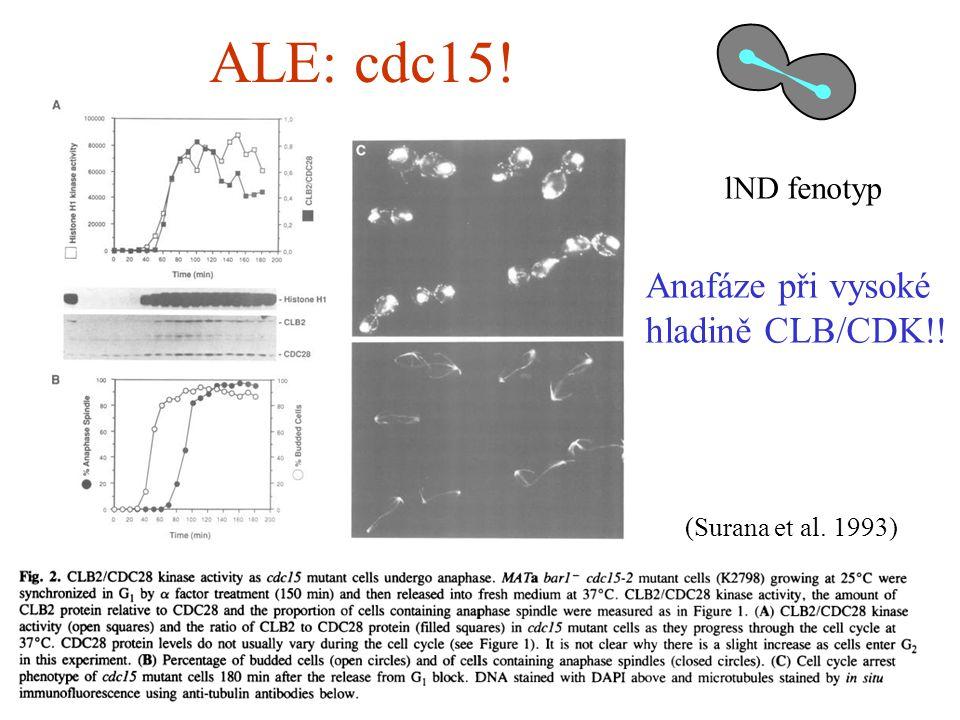 ALE: cdc15! Anafáze při vysoké hladině CLB/CDK!! (Surana et al. 1993) lND fenotyp