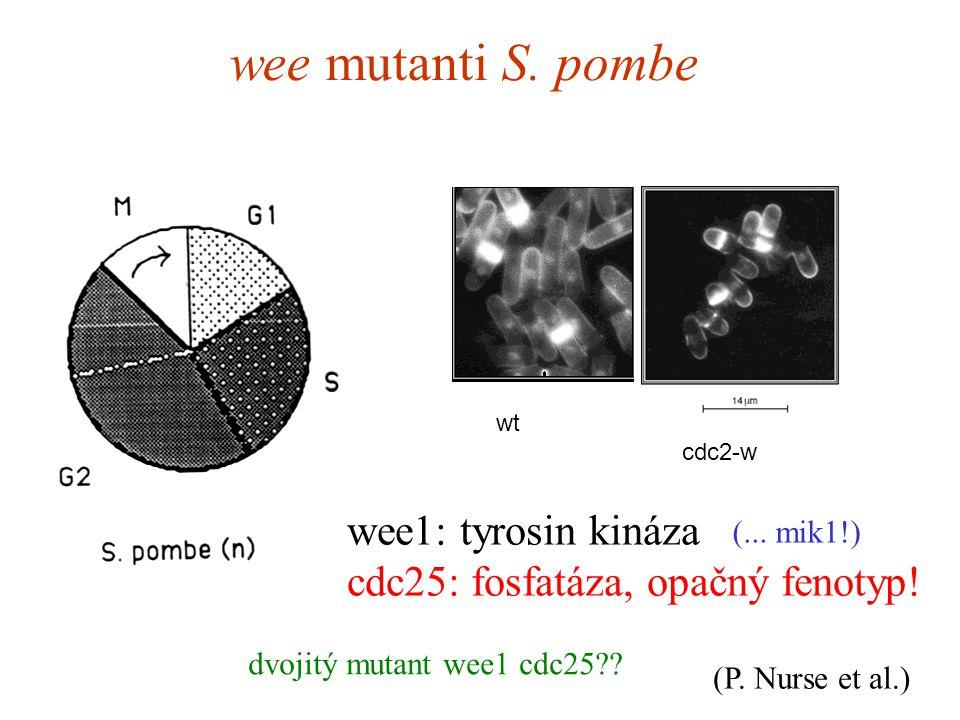 wee mutanti S. pombe wt cdc2-w wee1: tyrosin kináza cdc25: fosfatáza, opačný fenotyp.