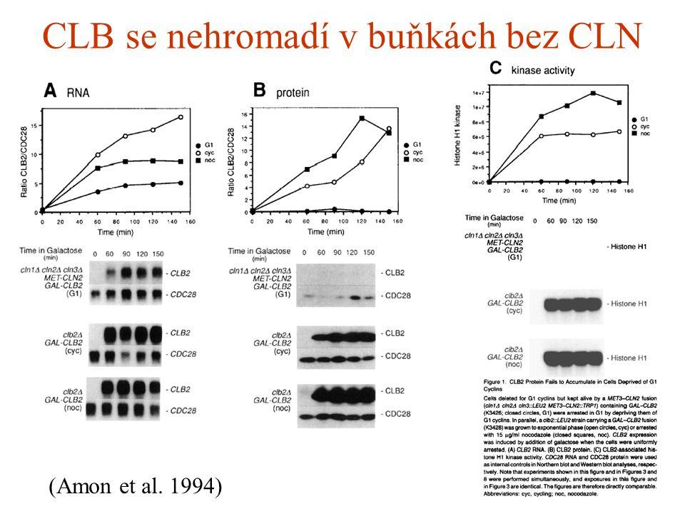 CLB se nehromadí v buňkách bez CLN (Amon et al. 1994)
