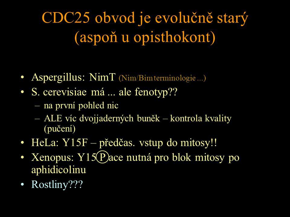 CDC25 obvod je evolučně starý (aspoň u opisthokont) Aspergillus: NimT (Nim/Bim terminologie...) S.