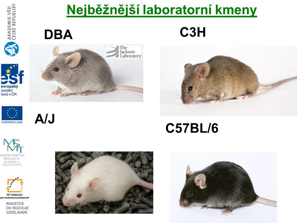 DBA A/J C3H C57BL/6 Nejběžnější laboratorní kmeny