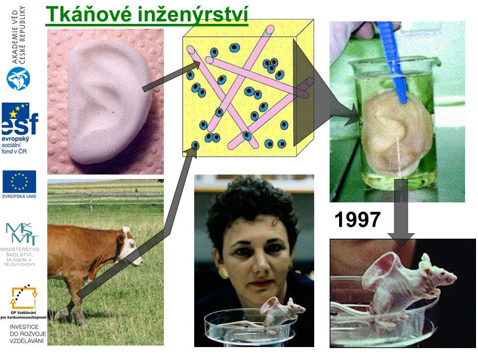 1997 Tkáňové inženýrství