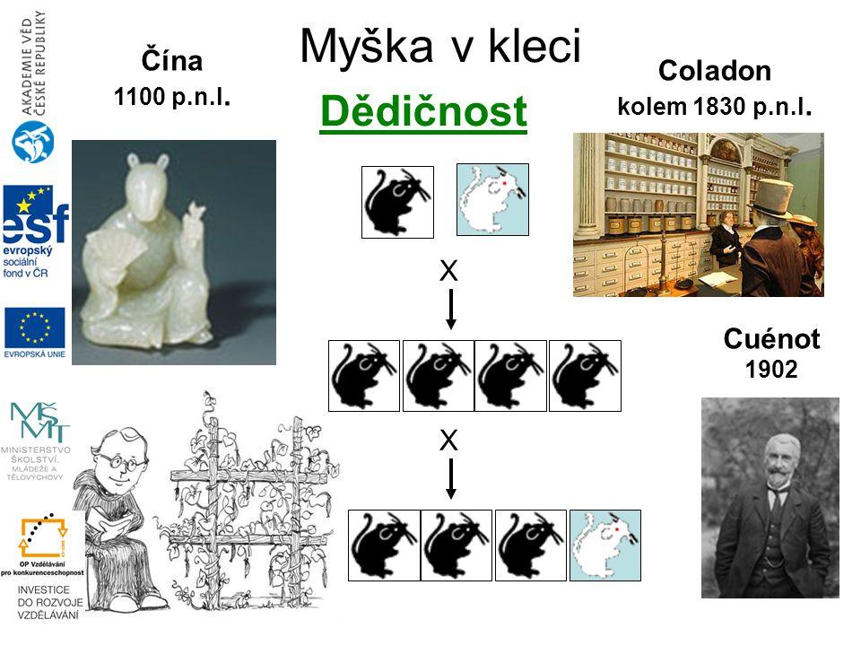 Myška v kleci X X Čína 1100 p.n.l. Coladon kolem 1830 p.n.l. Cuénot 1902 Dědičnost