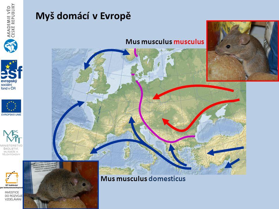 Mus musculus musculus Mus musculus domesticus Myš domácí v Evropě