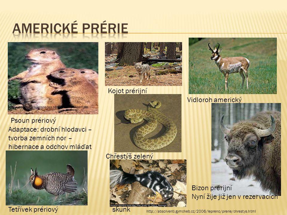 Psoun prériový http://room42.wikispaces.com/Prairie+Animals Adaptace: drobní hlodavci – tvorba zemních nor – hibernace a odchov mláďat Vidloroh americ