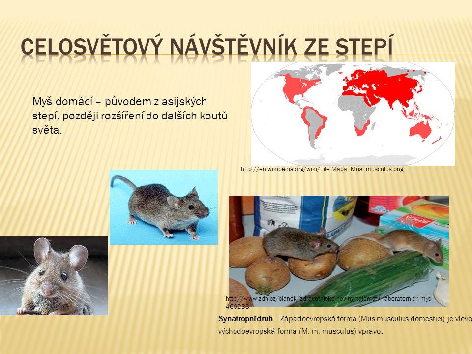 http://en.wikipedia.org/wiki/File:Mapa_Mus_musculus.png Myš domácí – původem z asijských stepí, později rozšíření do dalších koutů světa. Synatropní d