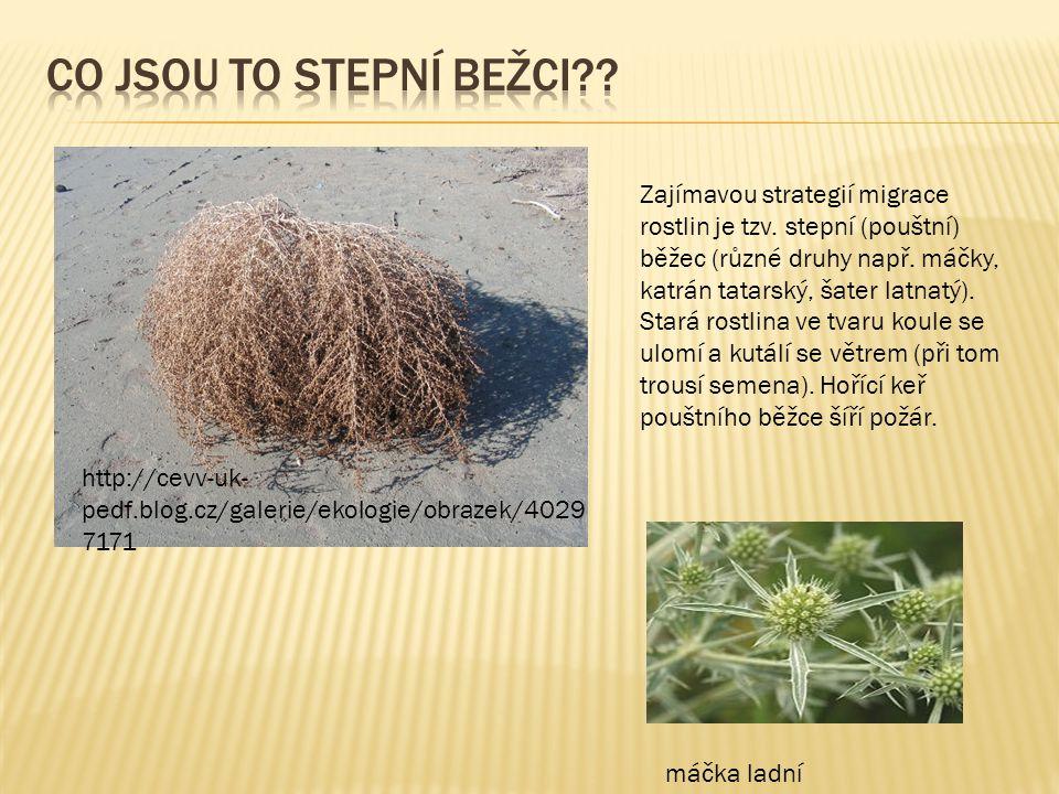 Zajímavou strategií migrace rostlin je tzv. stepní (pouštní) běžec (různé druhy např. máčky, katrán tatarský, šater latnatý). Stará rostlina ve tvaru