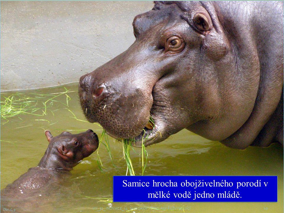 10 Obr.č. 9 Samice hrocha obojživelného porodí v mělké vodě jedno mládě.