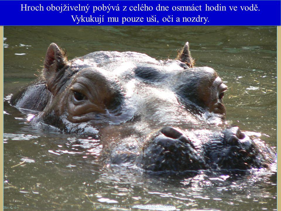 11 Hroch obojživelný pobývá z celého dne osmnáct hodin ve vodě. Vykukují mu pouze uši, oči a nozdry. VY_32_INOVACE_14_SUDOKOPYTNÍCI NEPŘEŽVYKUJÍCÍ Obr