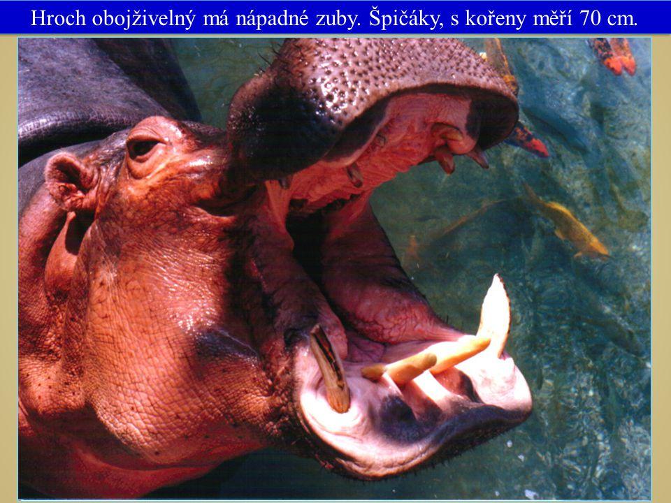 13 Obr. č. 13 VY_32_INOVACE_14_SUDOKOPYTNÍCI NEPŘEŽVYKUJÍCÍ Hroch obojživelný má nápadné zuby. Špičáky, s kořeny měří 70 cm.