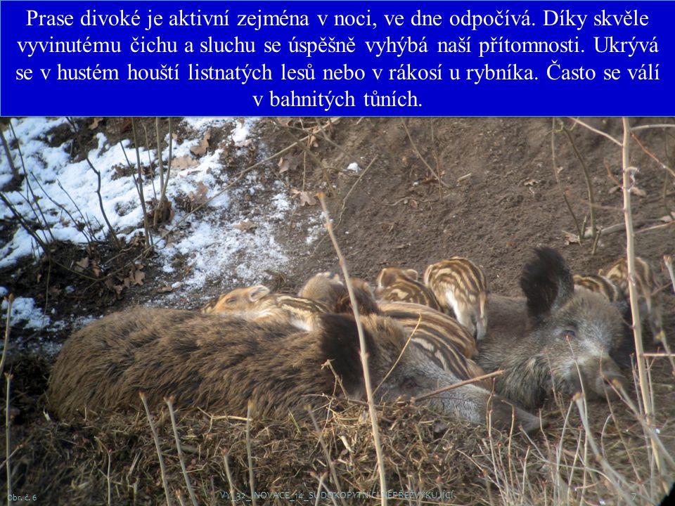 7 Obr.č. 6 Prase divoké je aktivní zejména v noci, ve dne odpočívá.
