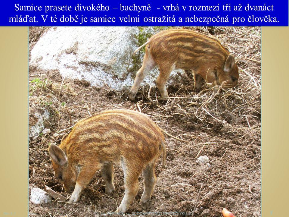8 Obr. č. 7 Samice prasete divokého – bachyně - vrhá v rozmezí tři až dvanáct mláďat. V té době je samice velmi ostražitá a nebezpečná pro člověka. VY