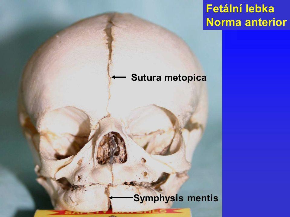 Symphysis mentis Fetální lebka Norma anterior Sutura metopica