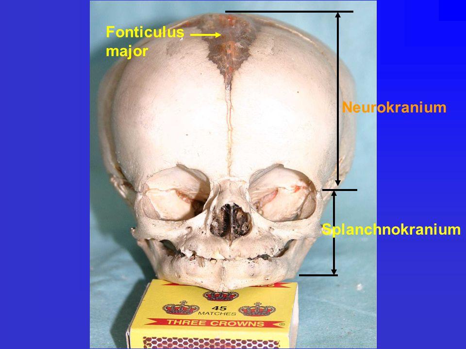 Fonticulus major Splanchnokranium Neurokranium