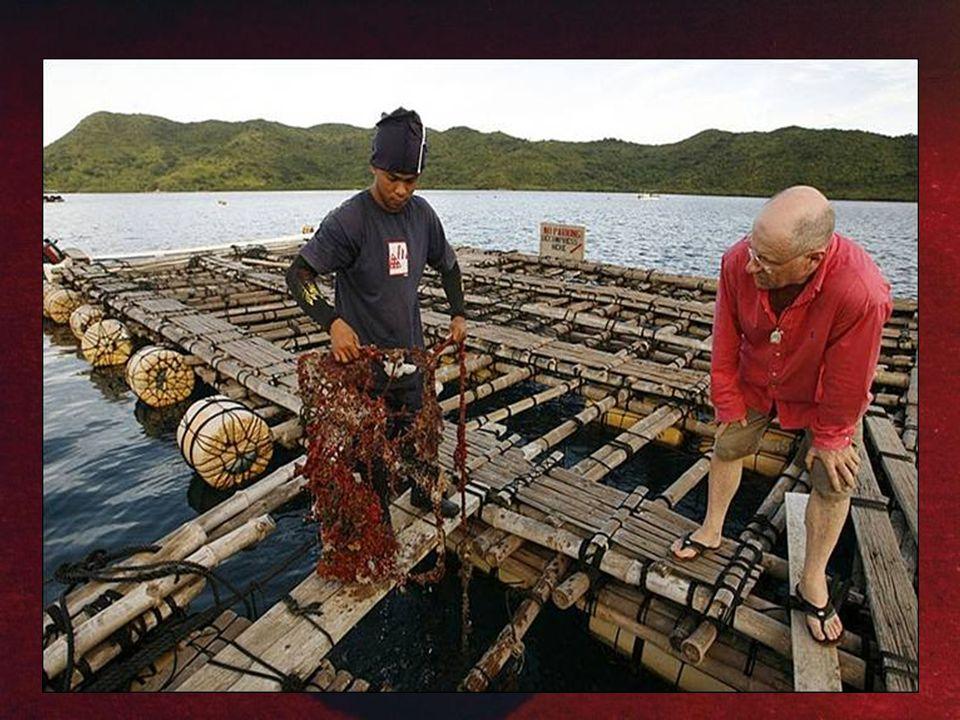 Perlotvorky ale musí být ve svém původním prostředí – v moři Perlotvorky ale musí být ve svém původním prostředí – v moři