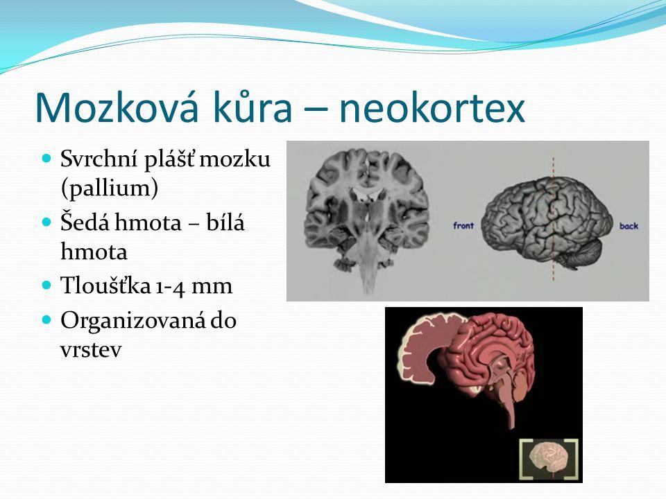Mozková kůra – neokortex Svrchní plášť mozku (pallium) Šedá hmota – bílá hmota Tloušťka 1-4 mm Organizovaná do vrstev