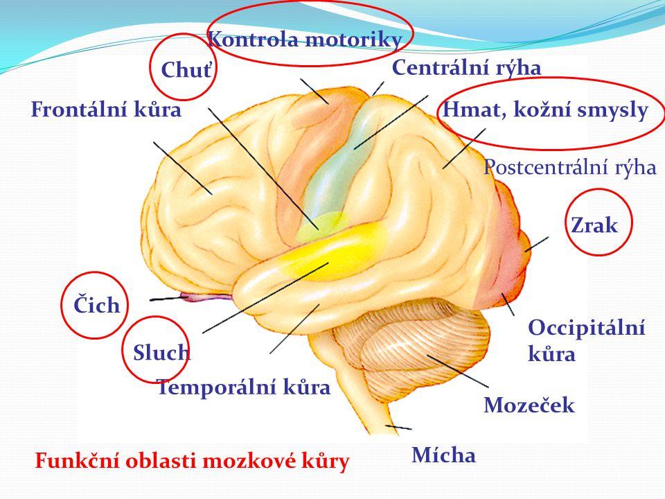 Čich Sluch Temporální kůra Frontální kůra Chuť Kontrola motoriky Centrální rýha Hmat, kožní smysly Zrak Occipitální kůra Mozeček Mícha Postcentrální r