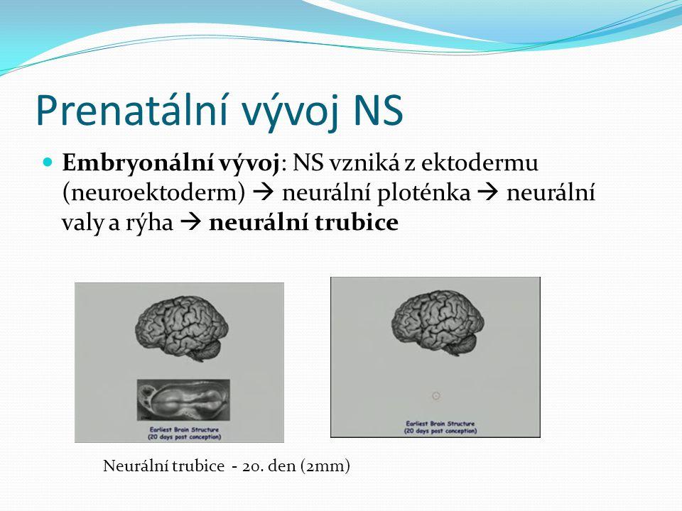 Prenatální vývoj NS Embryonální vývoj: NS vzniká z ektodermu (neuroektoderm)  neurální ploténka  neurální valy a rýha  neurální trubice Neurální trubice - 20.