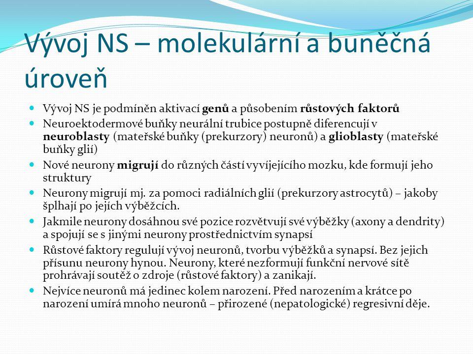 Vývoj NS – molekulární a buněčná úroveň Vývoj NS je podmíněn aktivací genů a působením růstových faktorů Neuroektodermové buňky neurální trubice postupně diferencují v neuroblasty (mateřské buňky (prekurzory) neuronů) a glioblasty (mateřské buňky glií) Nové neurony migrují do různých částí vyvíjejícího mozku, kde formují jeho struktury Neurony migrují mj.