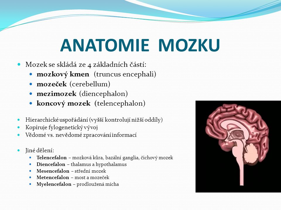 ANATOMIE MOZKU Mozek se skládá ze 4 základních částí: mozkový kmen (truncus encephali) mozeček (cerebellum) mezimozek (diencephalon) koncový mozek (telencephalon) Hierarchické uspořádání (vyšší kontrolují nižší oddíly) Kopíruje fylogenetický vývoj Vědomé vs.