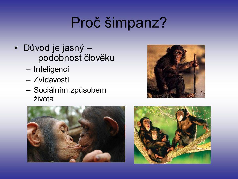 Proč šimpanz? Důvod je jasný – podobnost člověku –Inteligencí –Zvídavostí –Sociálním způsobem života