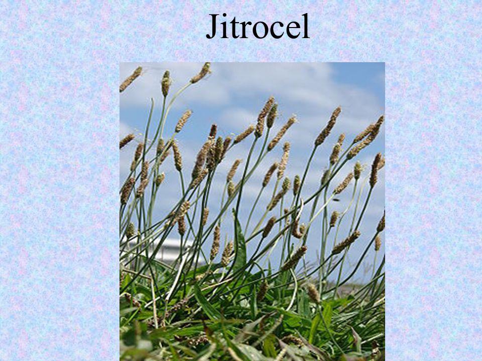 Jitrocel