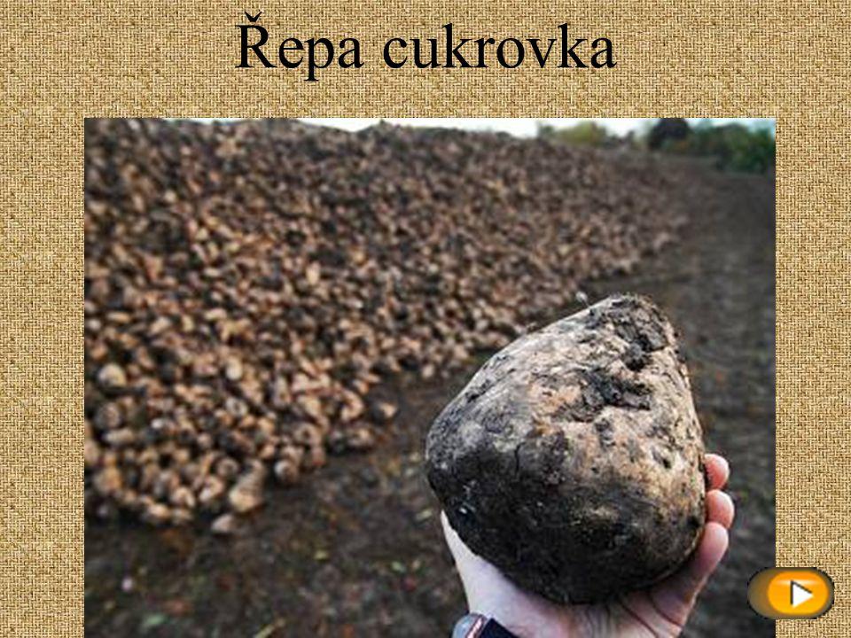 Mandelinka bramborová