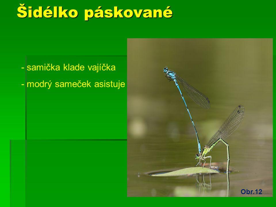 Šidélko páskované - samička klade vajíčka - modrý sameček asistuje Obr.12