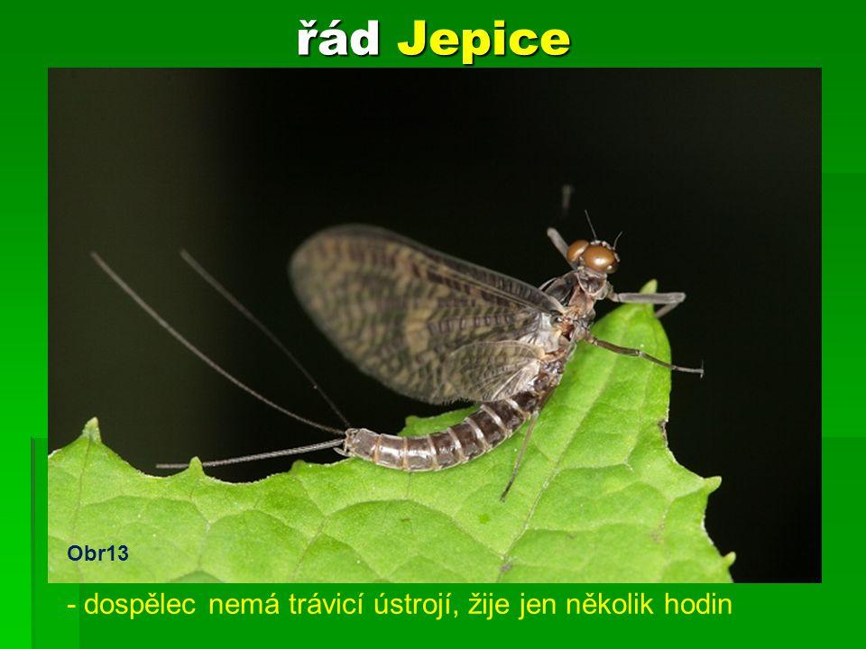 řád Jepice - larva žije ve vodě 3 roky - dospělec nemá trávicí ústrojí, žije jen několik hodin Obr13