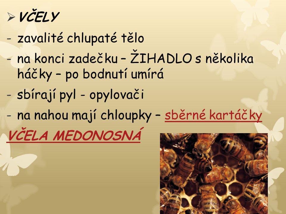  VČELY -zavalité chlupaté tělo -na konci zadečku – ŽIHADLO s několika háčky – po bodnutí umírá -sbírají pyl - opylovači -na nahou mají chloupky – sbě