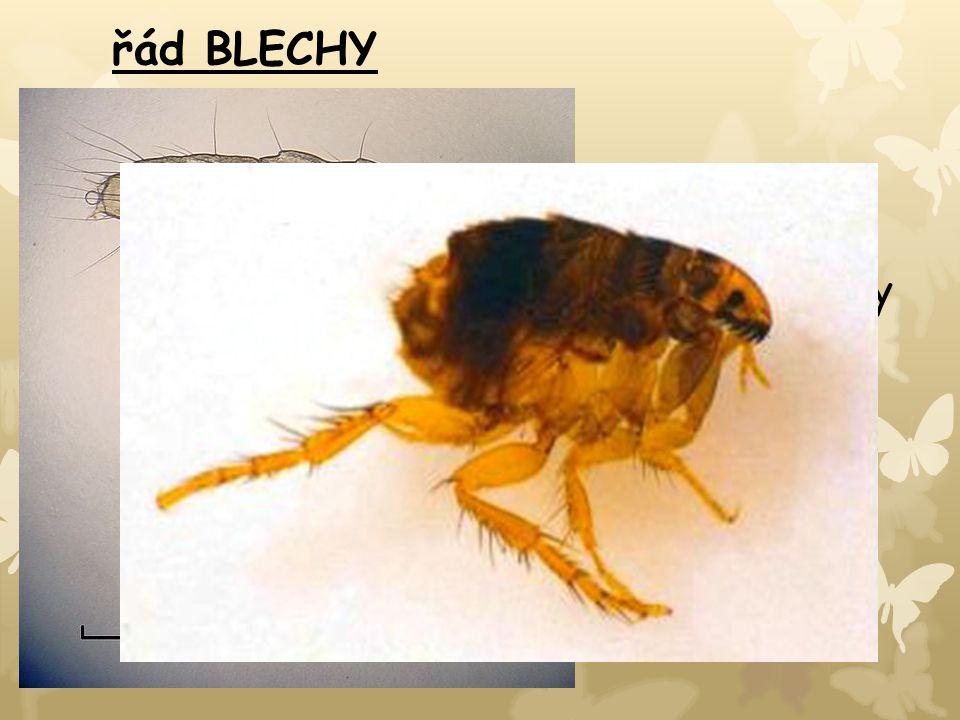 řád BLECHY -bezkřídlý cizopasný hmyz -bodavě sací ústní ústrojí -tělo ze stran zploštělé, nohy přizpůsobeny ke skákání -larvy žijí v hnízdech ptáků a savců, ve štěrbinách podlah → živí se organickými zbytky -BLECHA OBECNÁ