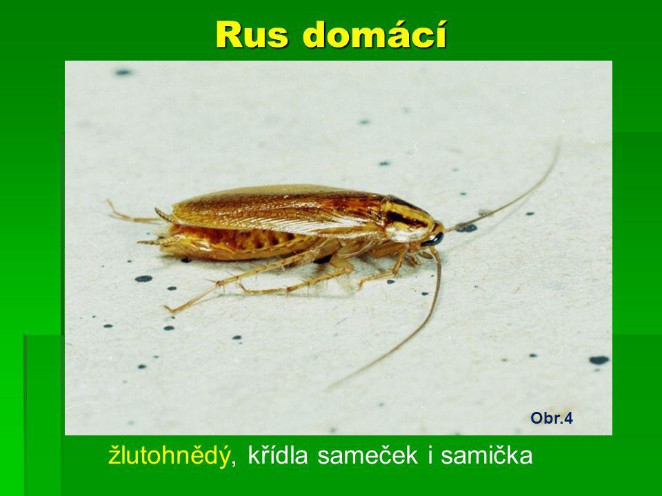 Rus domácí žlutohnědý, křídla sameček i samička Obr.4