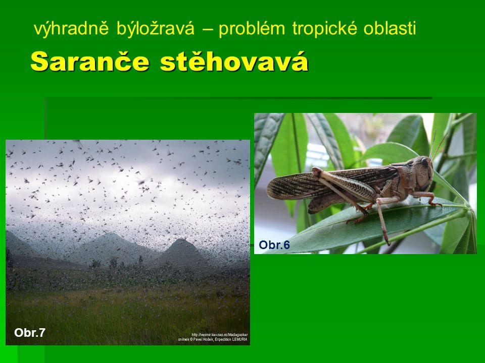 Saranče stěhovavá výhradně býložravá – problém tropické oblasti Obr.6 Obr.7