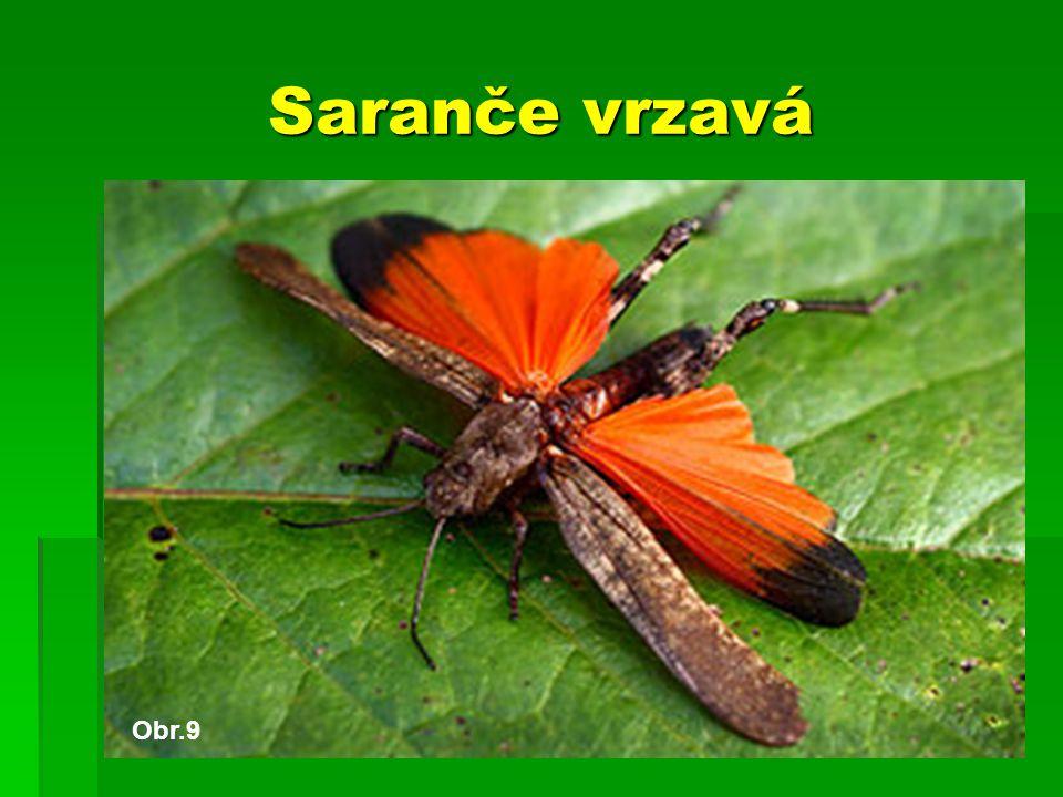 Saranče vrzavá Obr.9