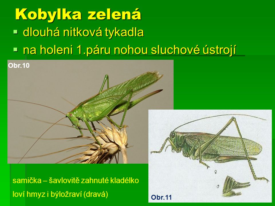 Kobylka zelená ddddlouhá nitková tykadla nnnna holeni 1.páru nohou sluchové ústrojí samička – šavlovitě zahnuté kladélko loví hmyz i býložraví