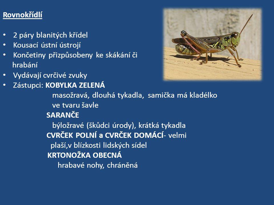 Rovnokřídlí 2 páry blanitých křídel Kousací ústní ústrojí Končetiny přizpůsobeny ke skákání či hrabání Vydávají cvrčivé zvuky Zástupci: KOBYLKA ZELENÁ masožravá, dlouhá tykadla, samička má kladélko ve tvaru šavle SARANČE býložravé (škůdci úrody), krátká tykadla CVRČEK POLNÍ a CVRČEK DOMÁCÍ- velmi plaší,v blízkosti lidských sídel KRTONOŽKA OBECNÁ hrabavé nohy, chráněná