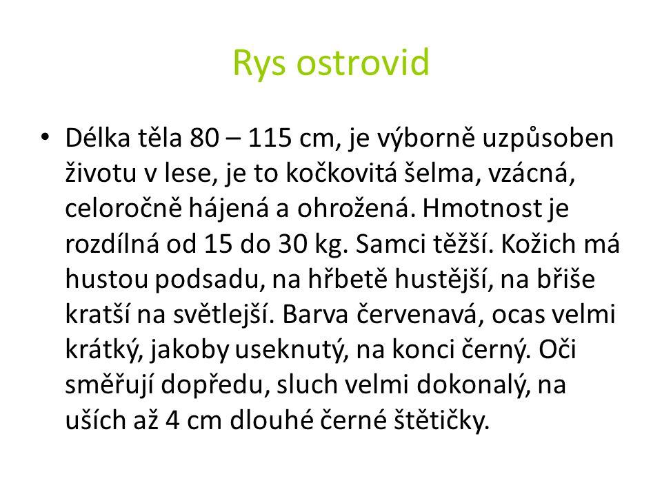 Rys ostrovid Délka těla 80 – 115 cm, je výborně uzpůsoben životu v lese, je to kočkovitá šelma, vzácná, celoročně hájená a ohrožená. Hmotnost je rozdí