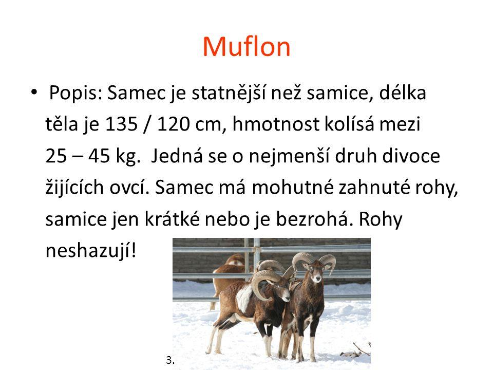 Muflon Popis: Samec je statnější než samice, délka těla je 135 / 120 cm, hmotnost kolísá mezi 25 – 45 kg. Jedná se o nejmenší druh divoce žijících ovc