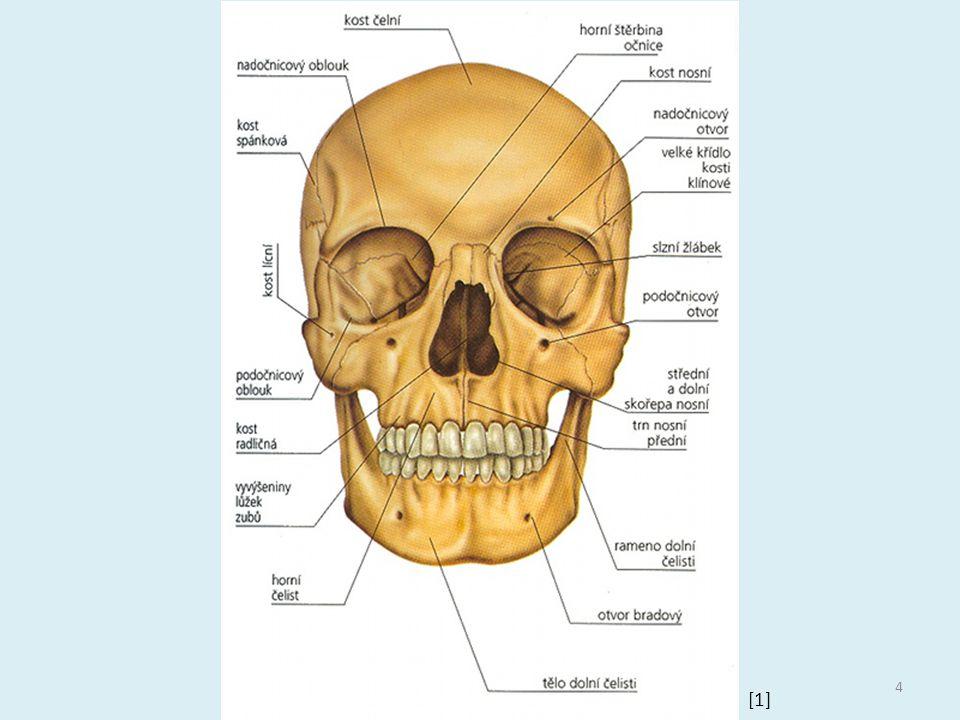 Mozková část kost týlní = otvor pro míchu, 2 hrboly pro spojení s atlasem kost klínová, temenní, spánková, čichová a čelní 5