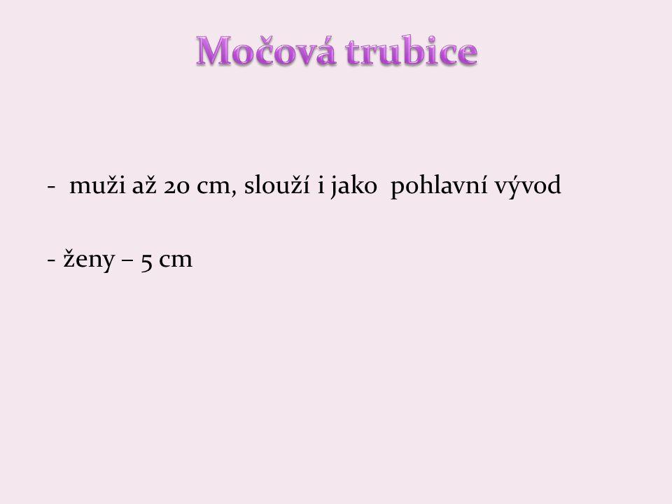- muži až 20 cm, slouží i jako pohlavní vývod - ženy – 5 cm