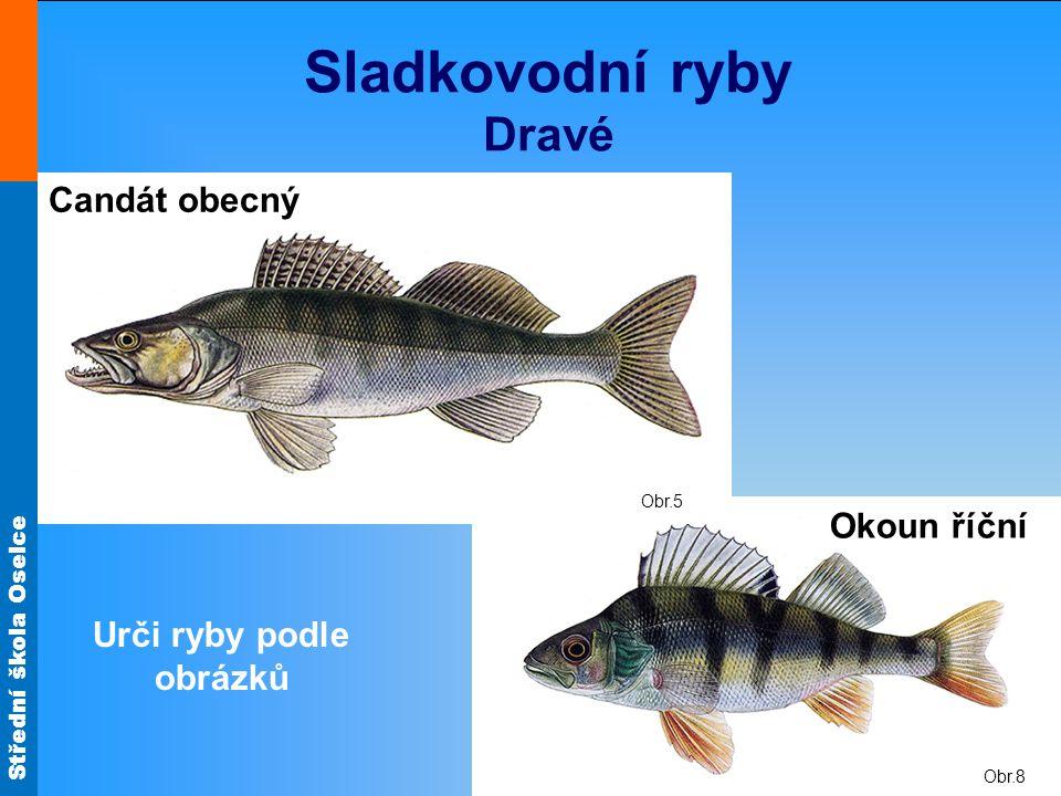 Střední škola Oselce Obr.8 Obr.5 Sladkovodní ryby Dravé Okoun říční Candát obecný Urči ryby podle obrázků