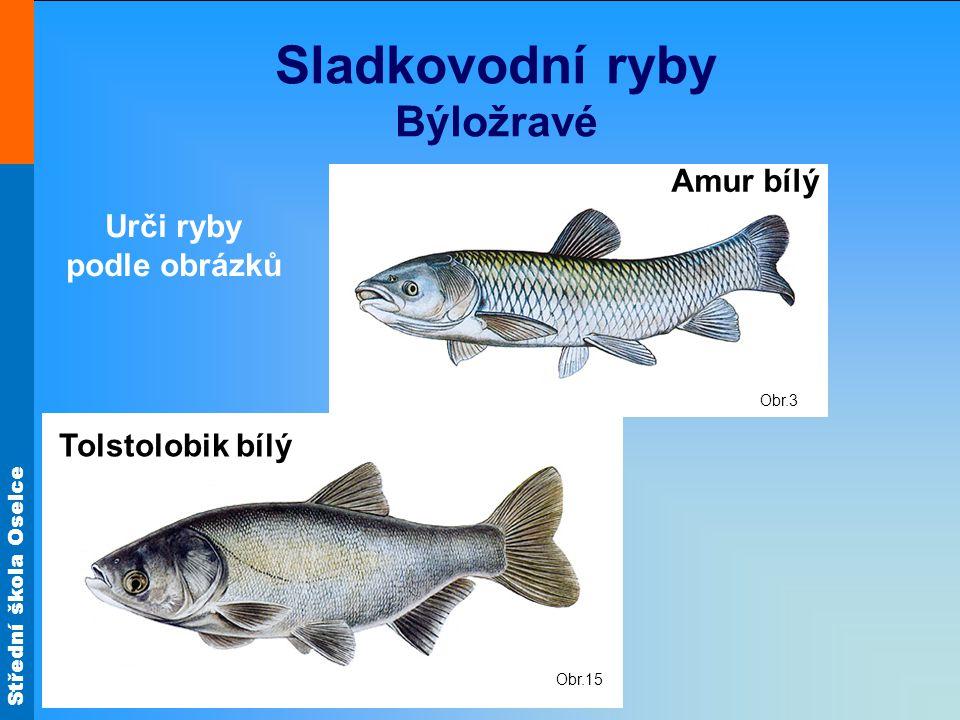 Střední škola Oselce Obr.15 Obr.3 Sladkovodní ryby Býložravé Amur bílý Tolstolobik bílý Urči ryby podle obrázků