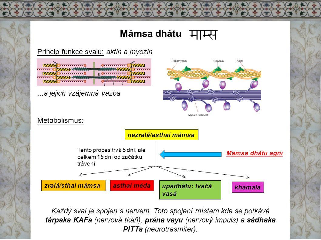 Mámsa dhátu Princip funkce svalu: aktin a myozin...a jejich vzájemná vazba Metabolismus: Každý sval je spojen s nervem. Toto spojení místem kde se pot