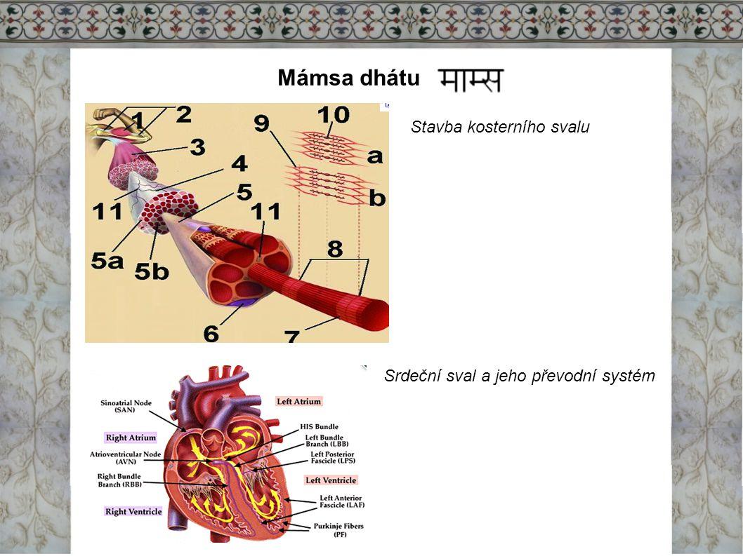 Mámsa dhátu Stavba kosterního svalu Srdeční sval a jeho převodní systém